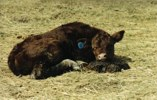 A tired calf